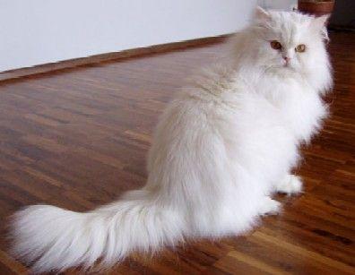 מודרניסטית האתר הרשמי של החתולים, פורום חתולים QT-24