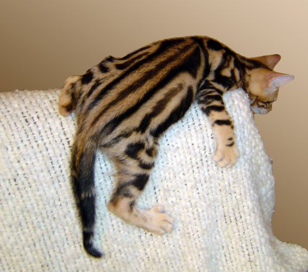 ברצינות Pantheon Bengals | CATS | חתולים | פנתאון בנגל'ס, עברית VB-45